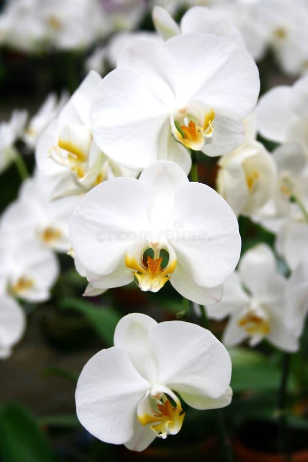 Orquídeas s2 fotos de stock royalty free