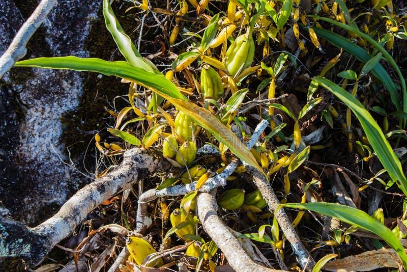Orquídeas selvagens em Pha Hin Goob foto de stock royalty free