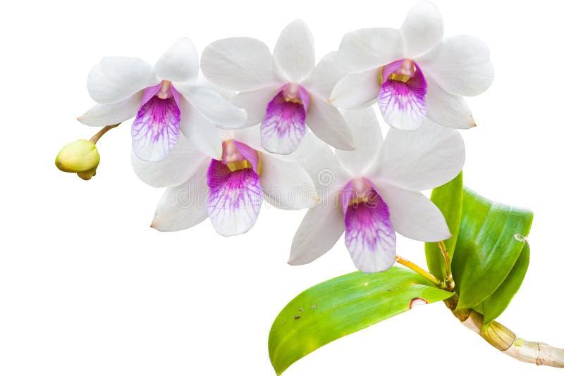Orquídeas tailandesas brancas no isolado. imagem de stock