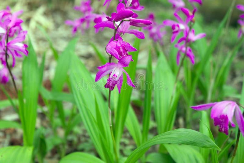 Orquídeas tropicales blancas y púrpuras fotografía de archivo libre de regalías