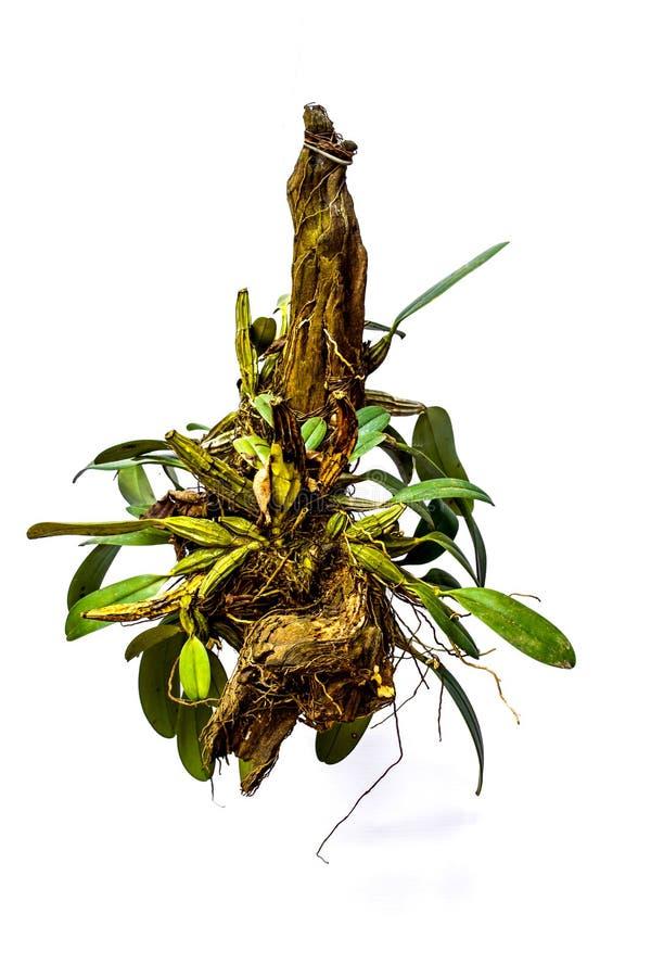 Orquídeas verdes que penduram potenciômetros. fotos de stock royalty free