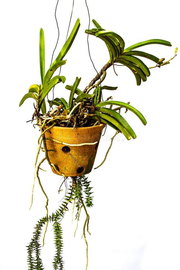 Orquídeas verdes que penduram potenciômetros. imagem de stock