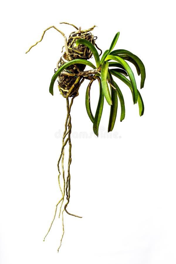 Orquídeas verdes que penduram potenciômetros. foto de stock royalty free