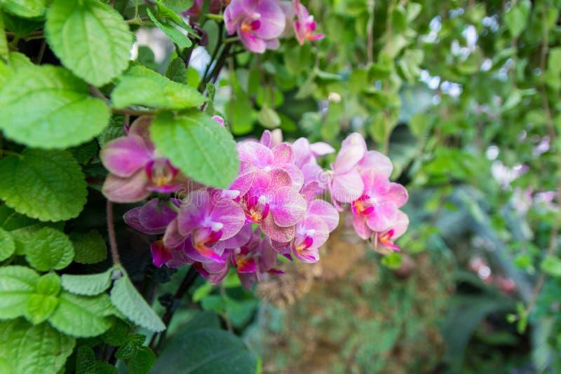 Orquídeas vermelhas bonitas de Vanda com outras planta e folhas imagens de stock royalty free