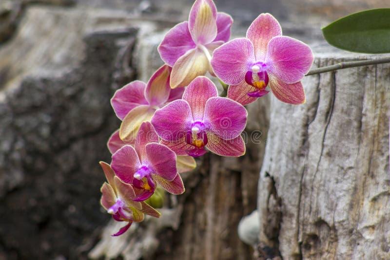 Orqu?dea cor-de-rosa bonita - phalaenopsis fotos de stock royalty free