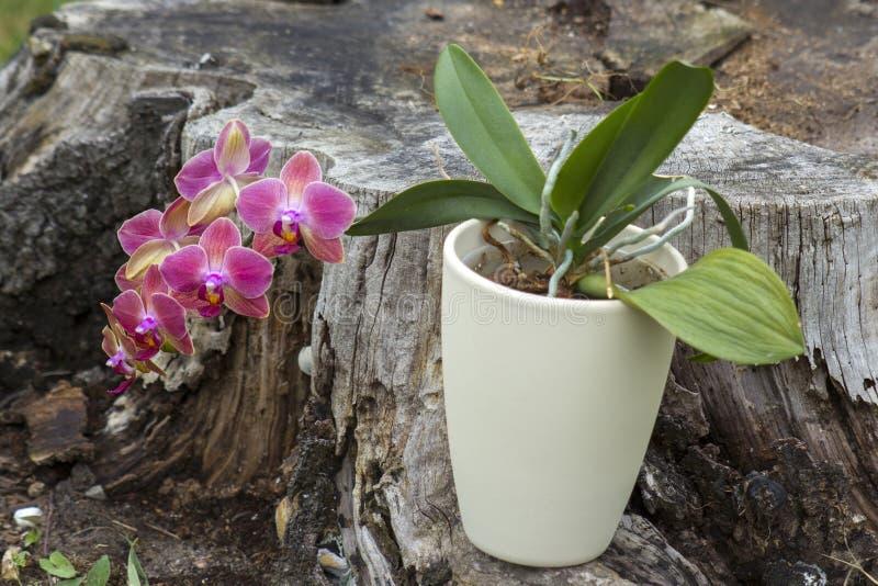 Orqu?dea cor-de-rosa bonita - phalaenopsis fotos de stock