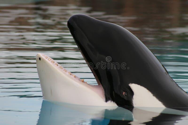 Orque captive   images stock