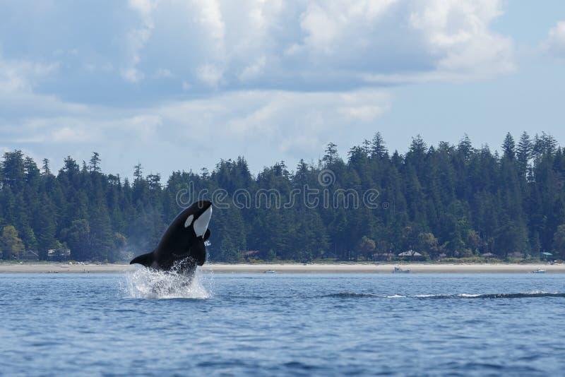 Orque sautante photographie stock