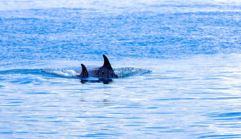 Orques de natation dans les eaux bleues