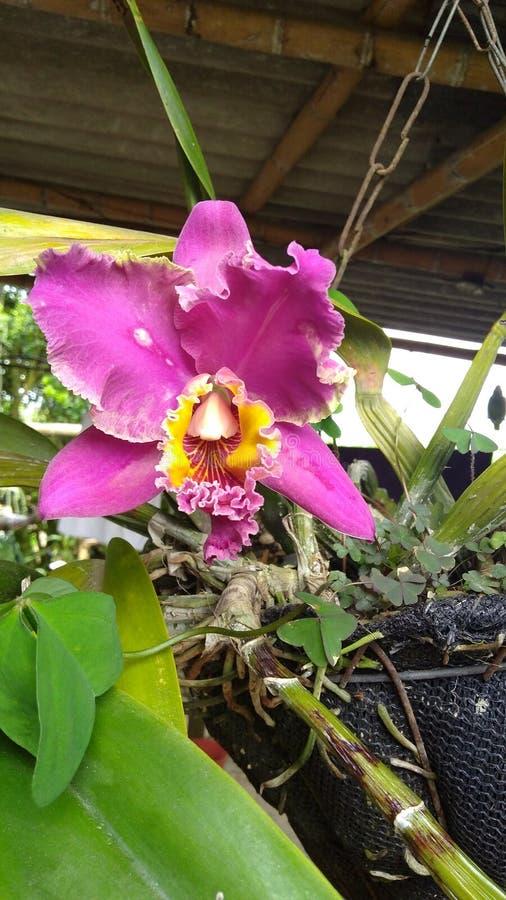 Download Orquidea στοκ εικόνες. εικόνα από hermosa, flor, φυτό - 105403298