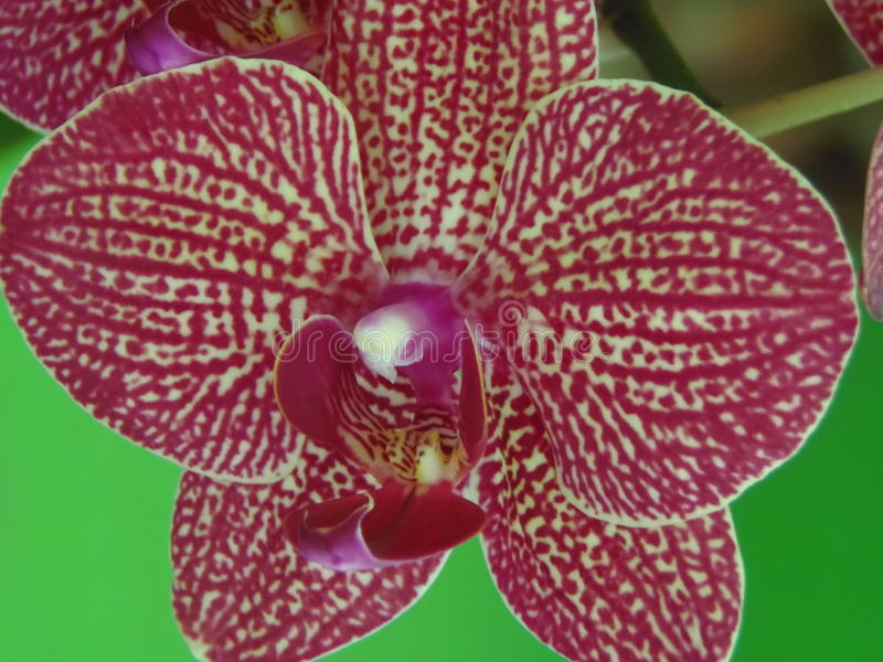 Orquidea photo libre de droits