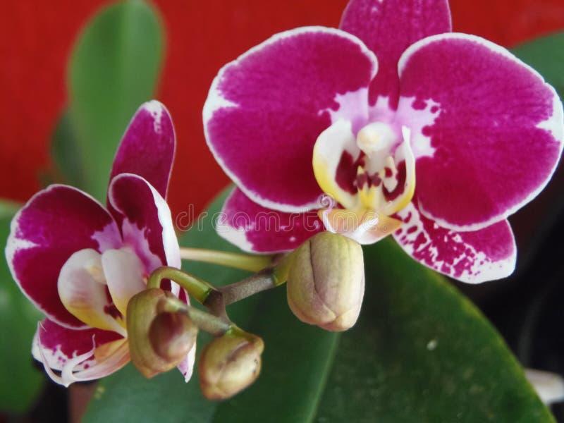 Orquidea 图库摄影