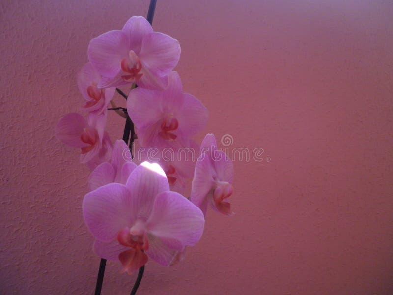 Orquidea rosa fotografie stock