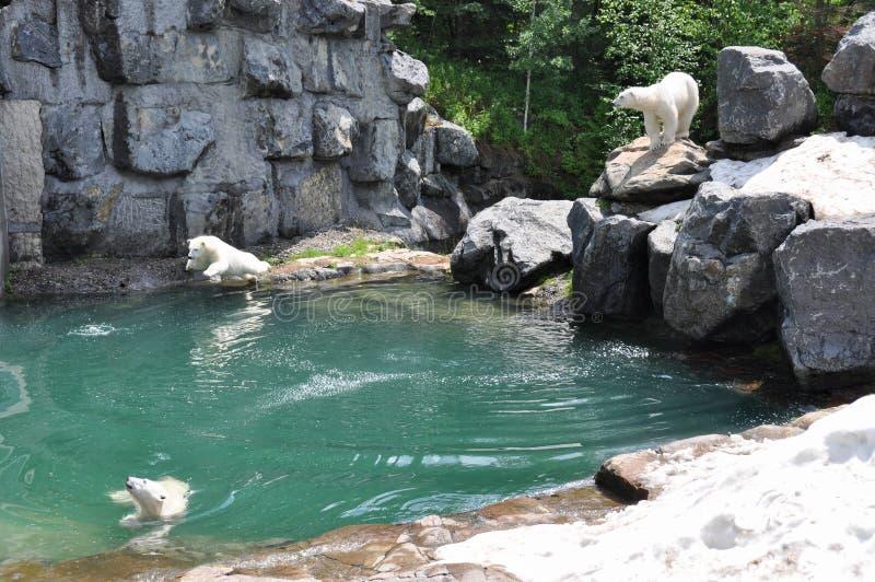 Orsi bianchi alla st-Felicien dello zoo, Quebe, Canada immagine stock libera da diritti