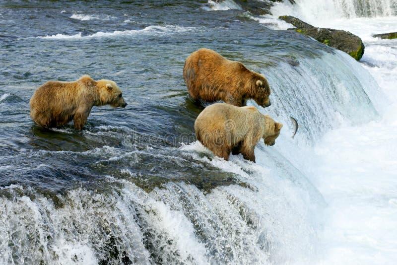 Orsi dell'orso grigio fotografie stock