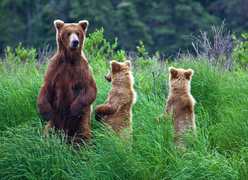 Orso di Grizly all'Alaska fotografia stock