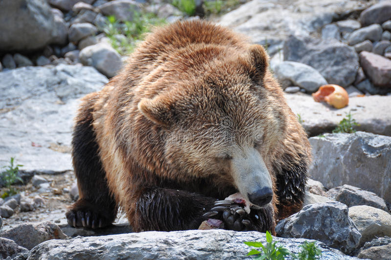 Orsi grigii alla st-Felicien dello zoo, Quebec, Canada immagini stock