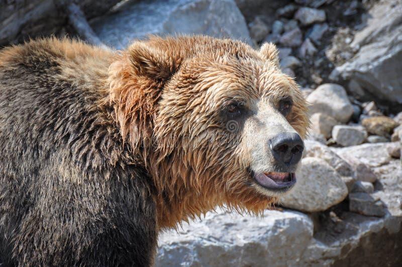 Orsi grigii alla st-Felicien dello zoo, Quebec, Canada immagini stock libere da diritti