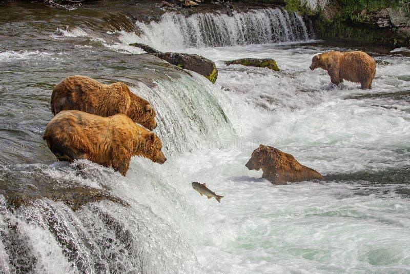 Orsi grigii di Katmai NP fotografie stock libere da diritti