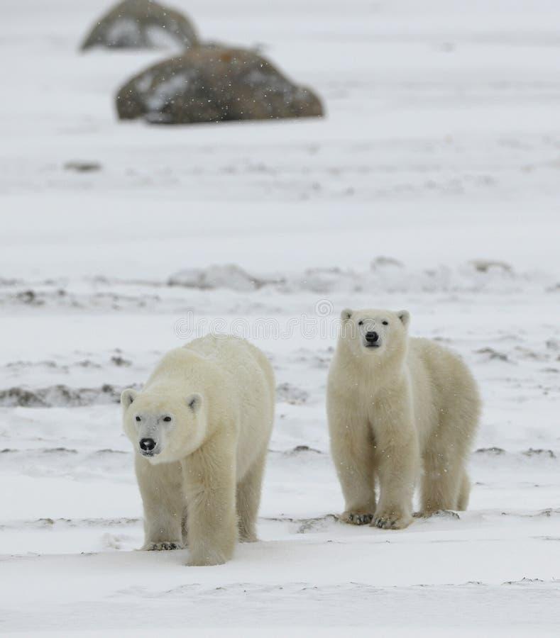 Orsi polari. immagine stock libera da diritti