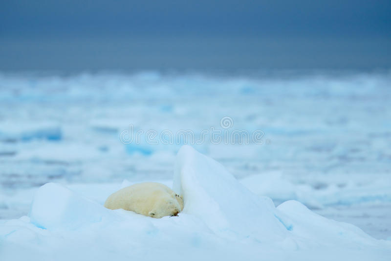 Orsi polari, animale sveglio grande di sonno su ghiaccio galleggiante con neve e cielo scuro nelle Svalbard artiche, nell'habitat immagine stock libera da diritti
