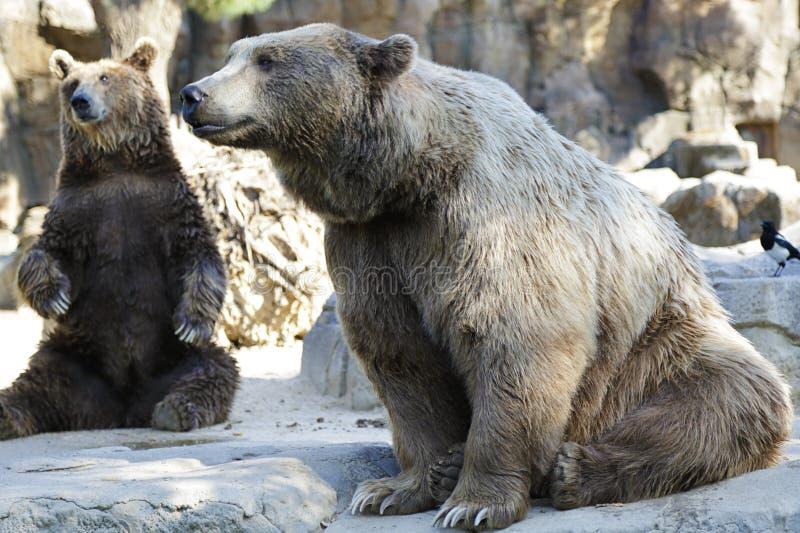 Orso Brown Ursus arctos immagini stock libere da diritti