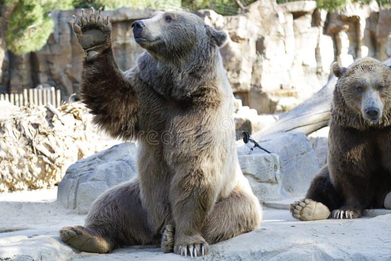 Orso Brown Ursus arctos immagine stock libera da diritti