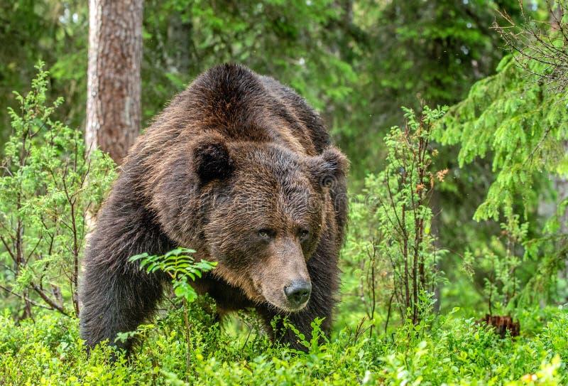 Orso bruno adulto Ritratto alto vicino dell'orso bruno nello sfondo naturale di verde di foresta di estate Habitat naturale scien fotografie stock libere da diritti