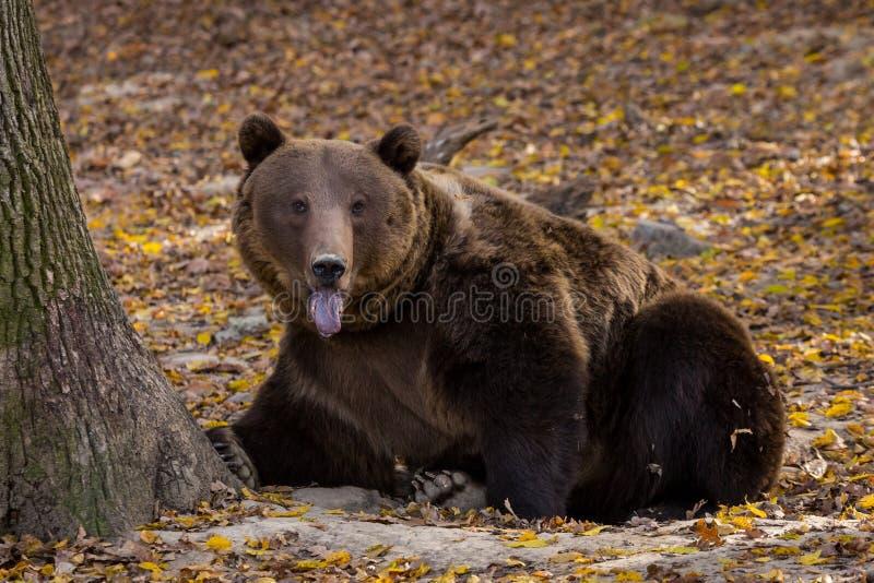 Orso bruno che attacca la sua lingua fuori fotografia stock libera da diritti