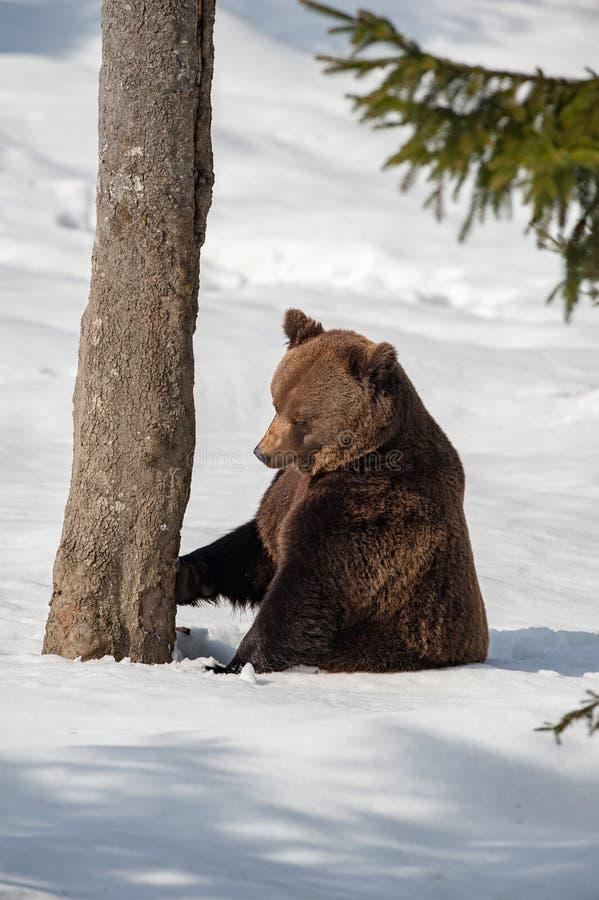 Orso bruno che cammina sulla neve immagini stock