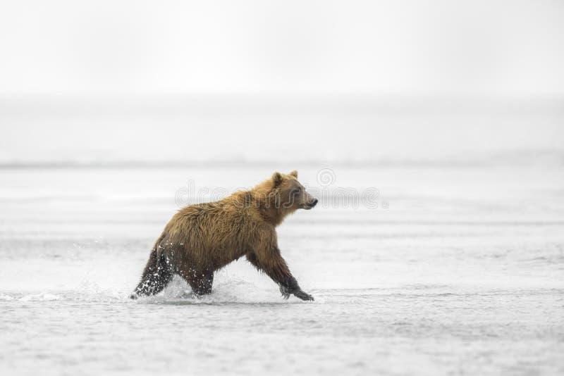 Orso bruno che corre nella spuma fotografie stock