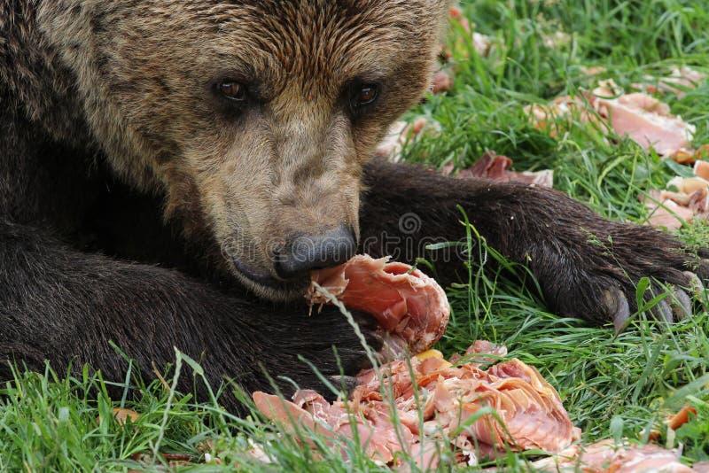 Orso bruno che mangia carne immagine stock libera da diritti
