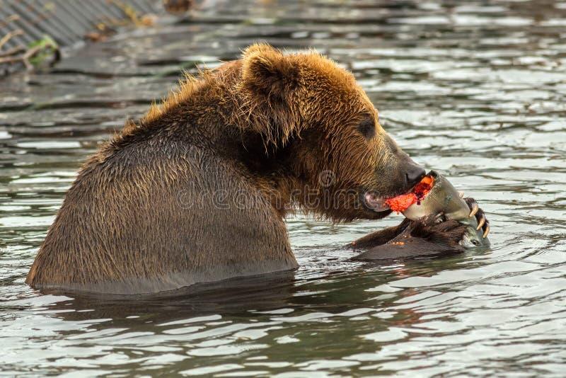 Orso bruno che mangia salmone preso con il caviale rosso for Affitti cabina grande lago orso