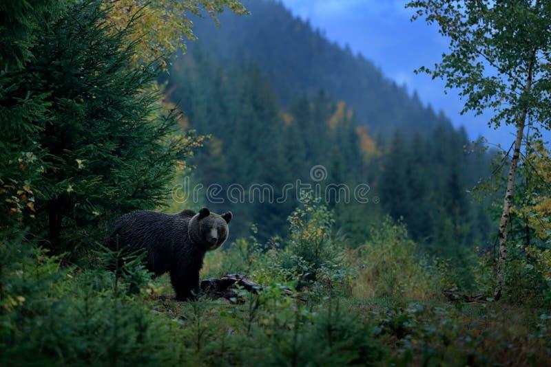 Orso bruno che si alimenta prima dell'inverno Montagna Mala Fatra, animale verde dei pericoli della foresta, autunno giallo, habi fotografie stock