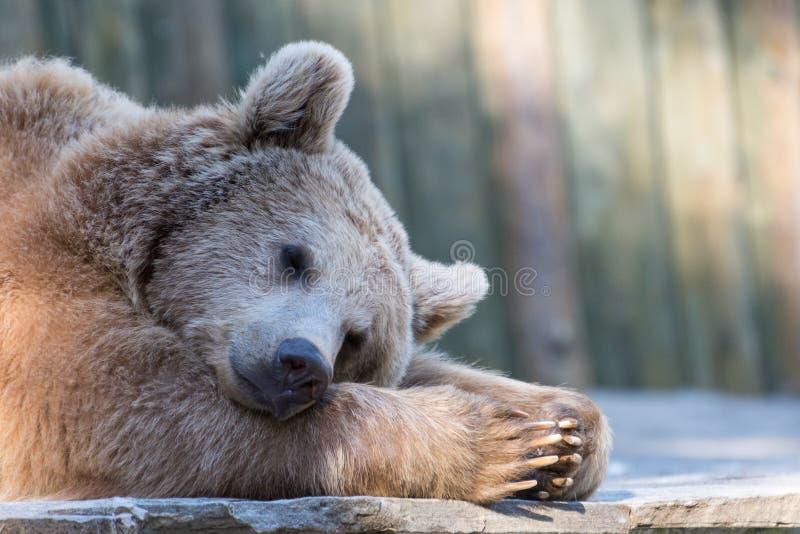 Orso bruno di rilassamento addormentato stanco in zoo fotografia stock