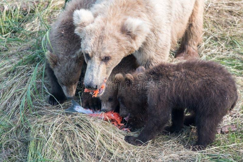 Orso bruno e cuccioli d'Alasca immagini stock libere da diritti