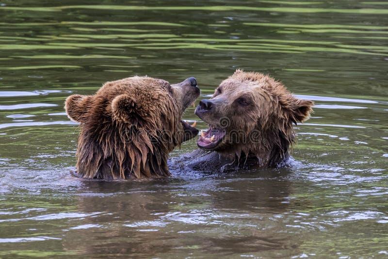 Orso bruno europeo, arctos di ursus in un parco immagini stock