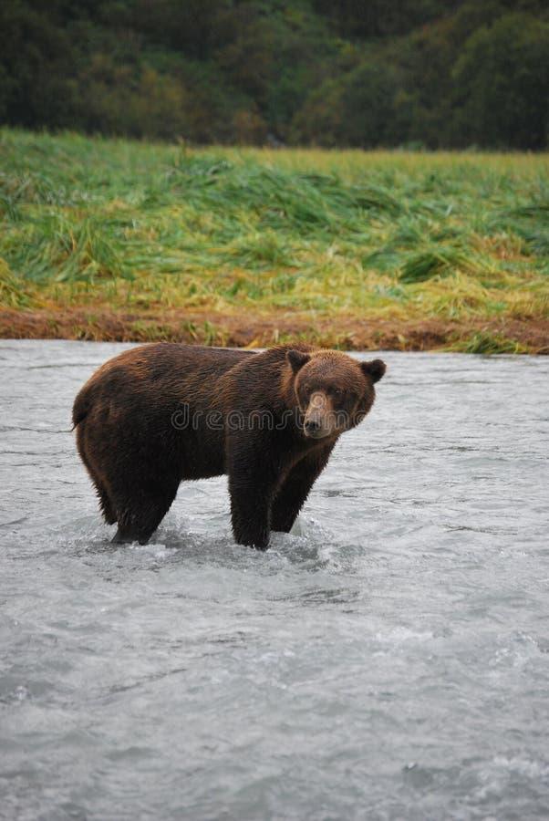 Orso bruno/orso grigio d'Alasca immagini stock