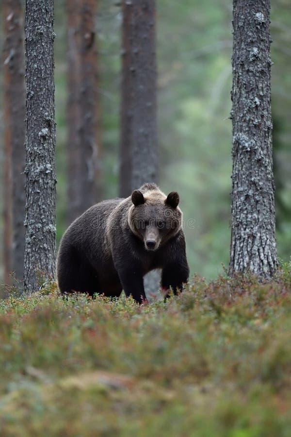 Orso bruno verso la fine dell'uguagliare paesaggio della foresta fotografia stock