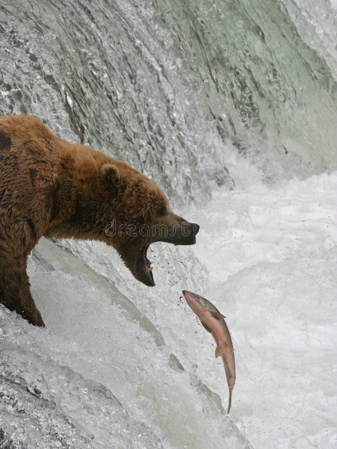 Orso contro i salmoni fotografia stock libera da diritti