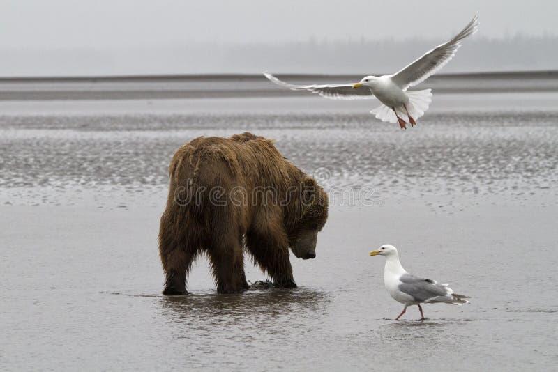 Orso costiero di Brown che cerca le vongole con seguire di due gabbiani fotografie stock
