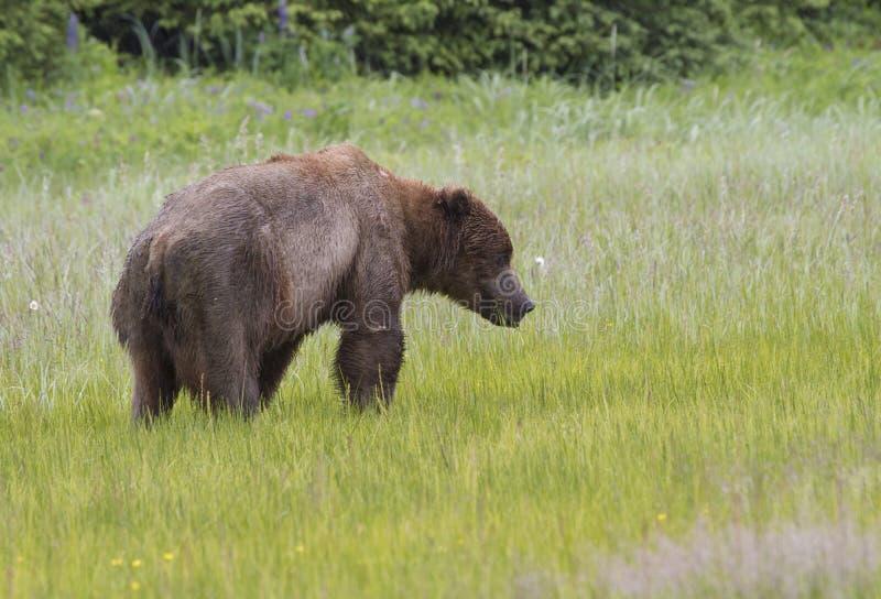 Orso costiero di Brown che mangia l'erba del carice fotografia stock libera da diritti