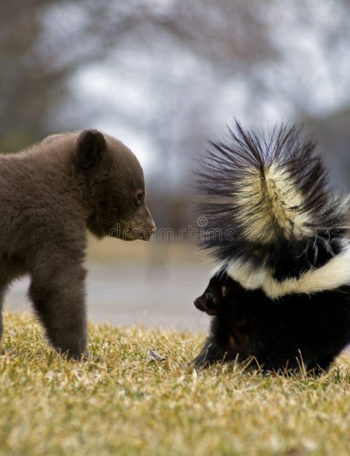 Orso Cub nero e moffetta a strisce - sfuocatura di movimento fotografie stock libere da diritti