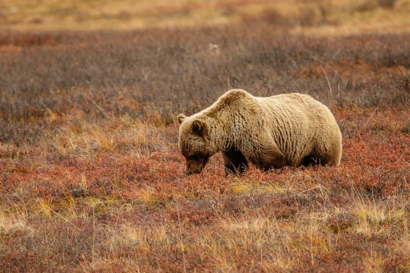 Orso dell'orso grigio nella sosta nazionale di Denali, Alaska fotografie stock libere da diritti