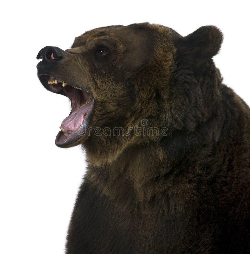 Orso dell'orso grigio, 10 anni, ringhianti immagini stock