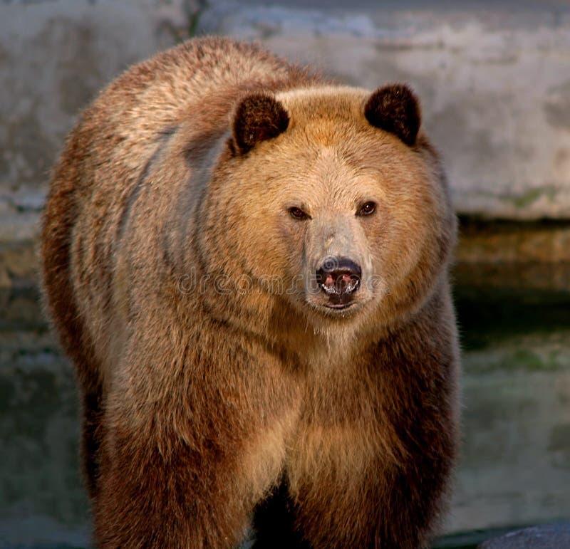 Download Orso dell'orso grigio immagine stock. Immagine di california - 7305095