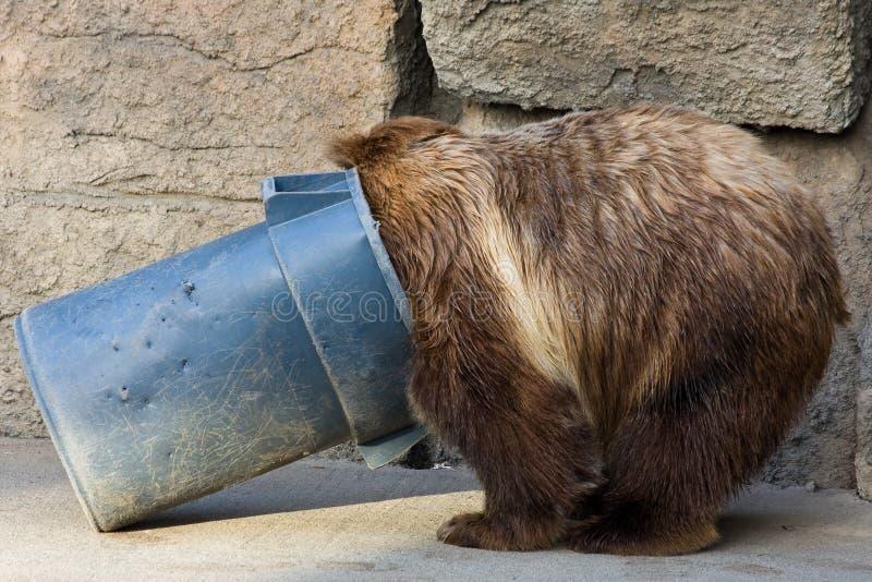 Orso dell'orso grigio che scava in una pattumiera fotografia stock