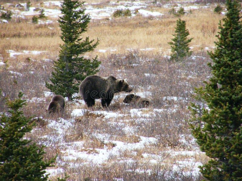 Orso dell'orso grigio con due cubs immagine stock
