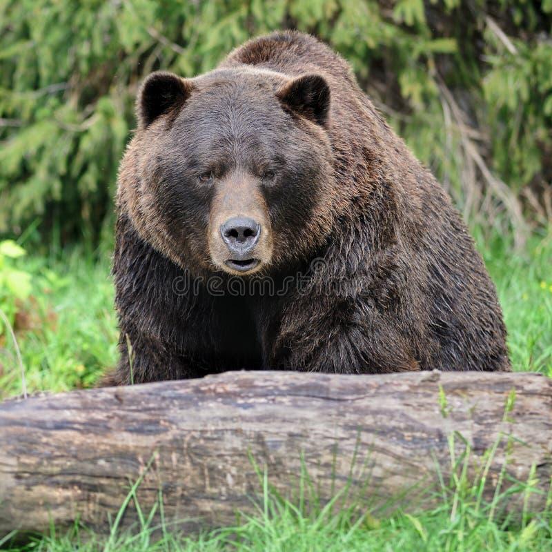Orso dell'orso grigio in foresta fotografia stock libera da diritti