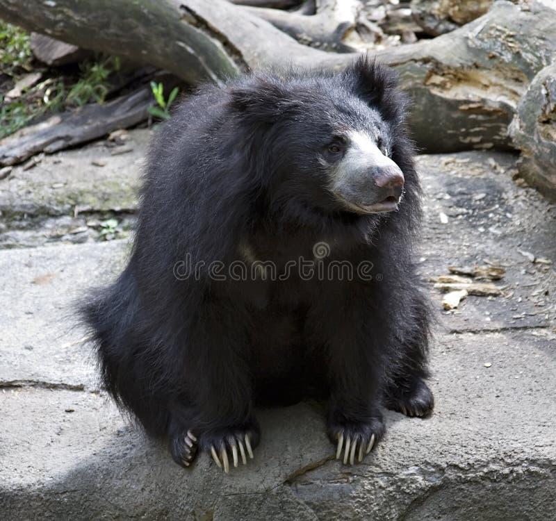 Orso di bradipo fotografia stock